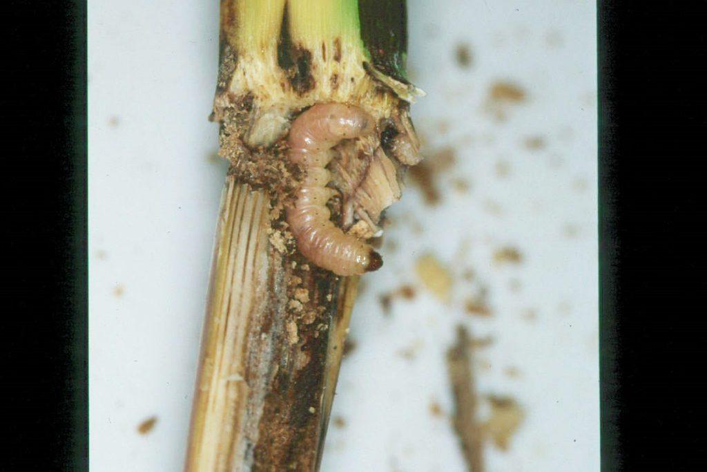 Larva de barrinador de panís i dany en la canya de la planta