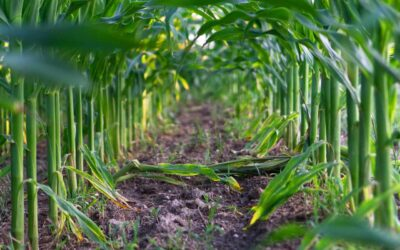 Más de 120 participantes en el 'I curso online de identificación y manejo de malas hierbas de maíz'