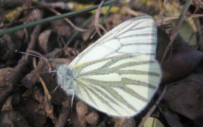 Les papallones són útils per detectar l'impacte ambiental del panís transgènic Bt