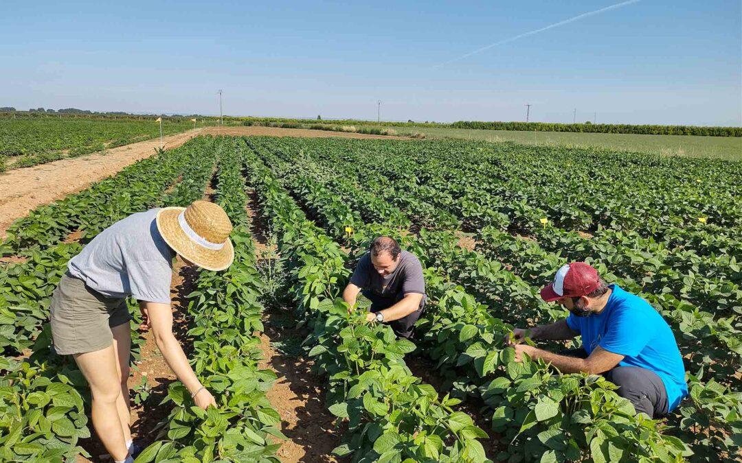 """Agrotecnio i la UdL, al projecte """"Del conreu a la taula"""" per promoure el conreu de proteïna vegetal de proximitat"""